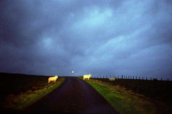 Image of sheep on road at dusk